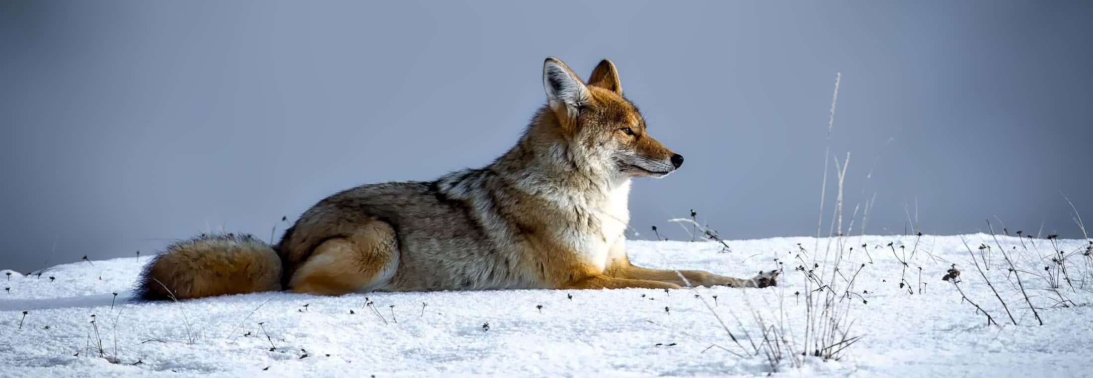coyote-2--1730060