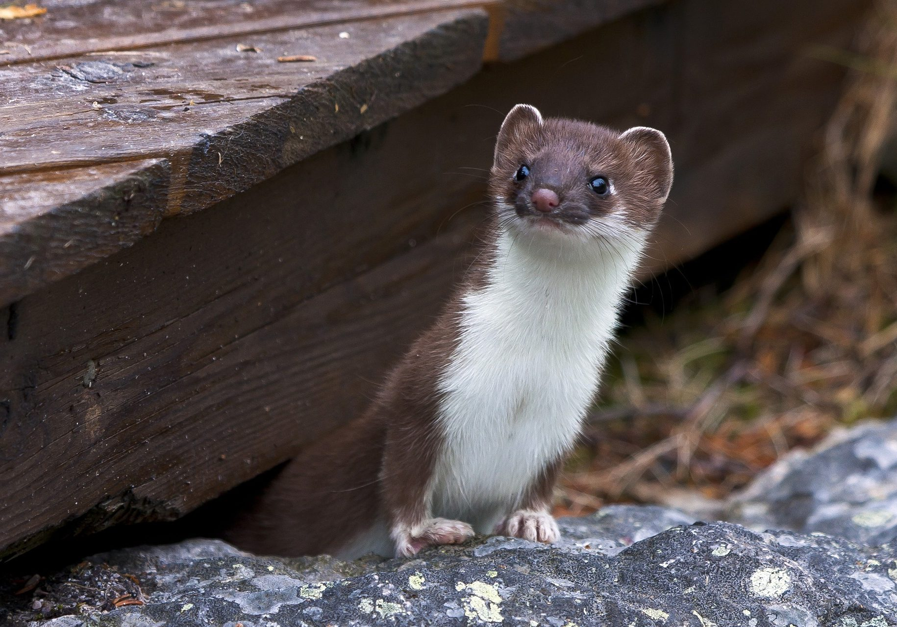 Long Tailed WEASEL animals-3352109_1920