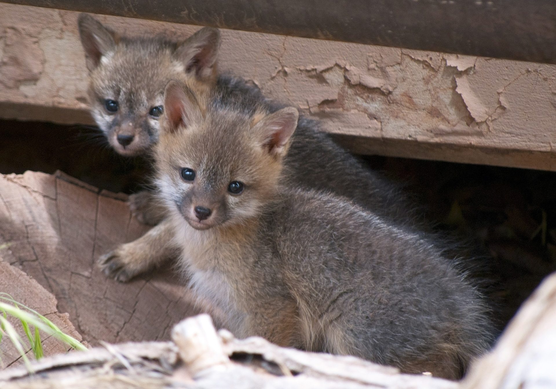 gray-fox-kits-956687_1920
