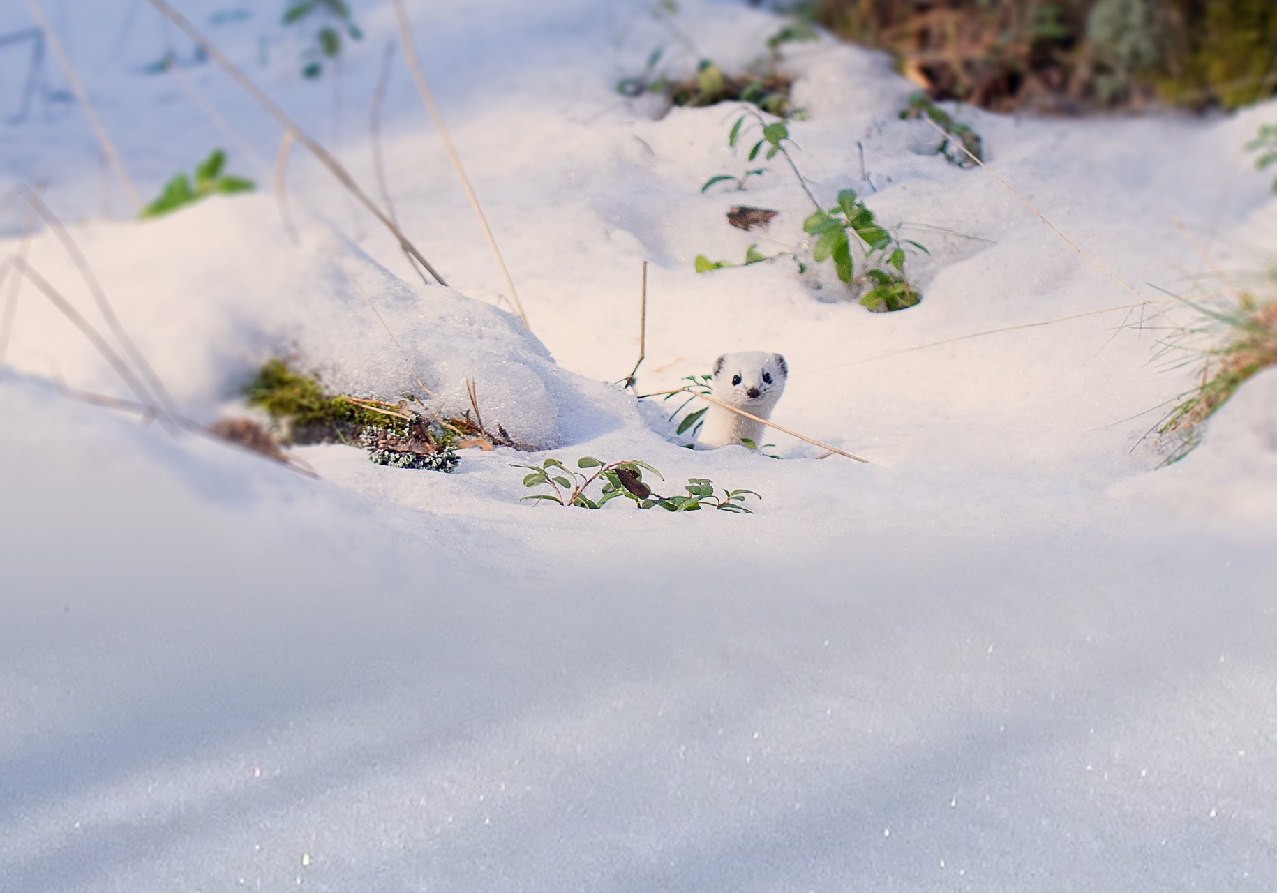 short tailed weasel snow-3276668_1920